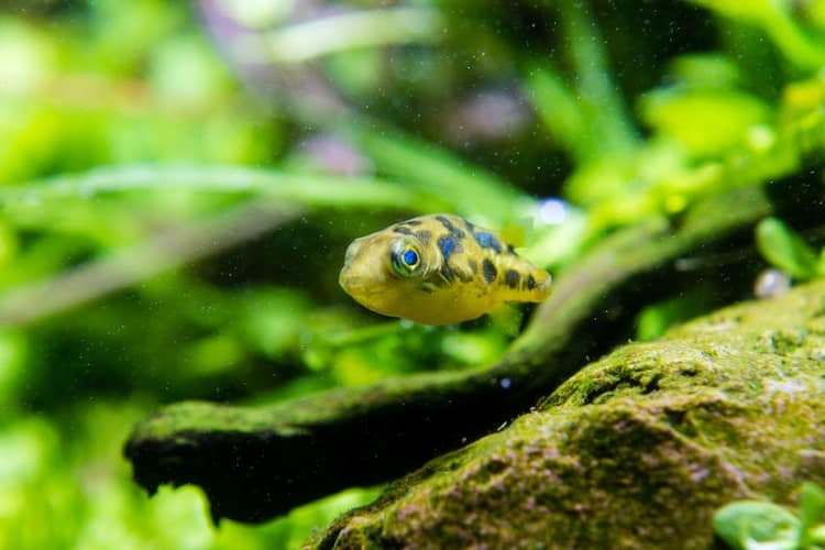 Pea puffer fish