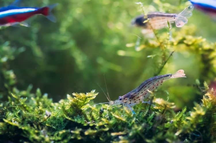 Amano Shrimp vs Ghost Shrimp: What's the Difference? - Fish