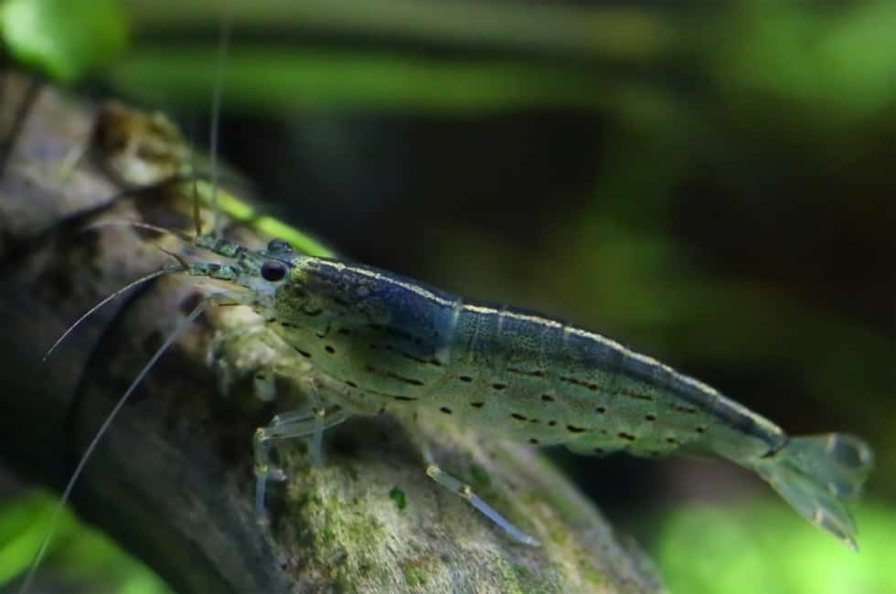 Amano Shrimp vs Ghost Shrimp