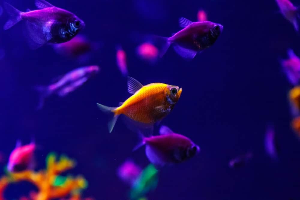 Can GloFish live with other fish?