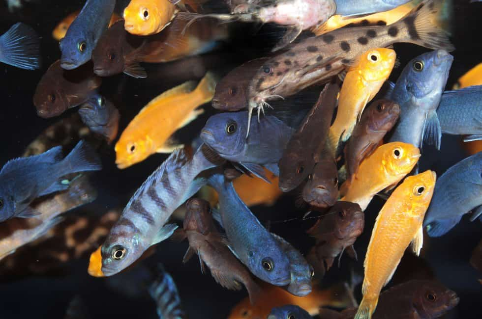 Cichlids That Can Live Together