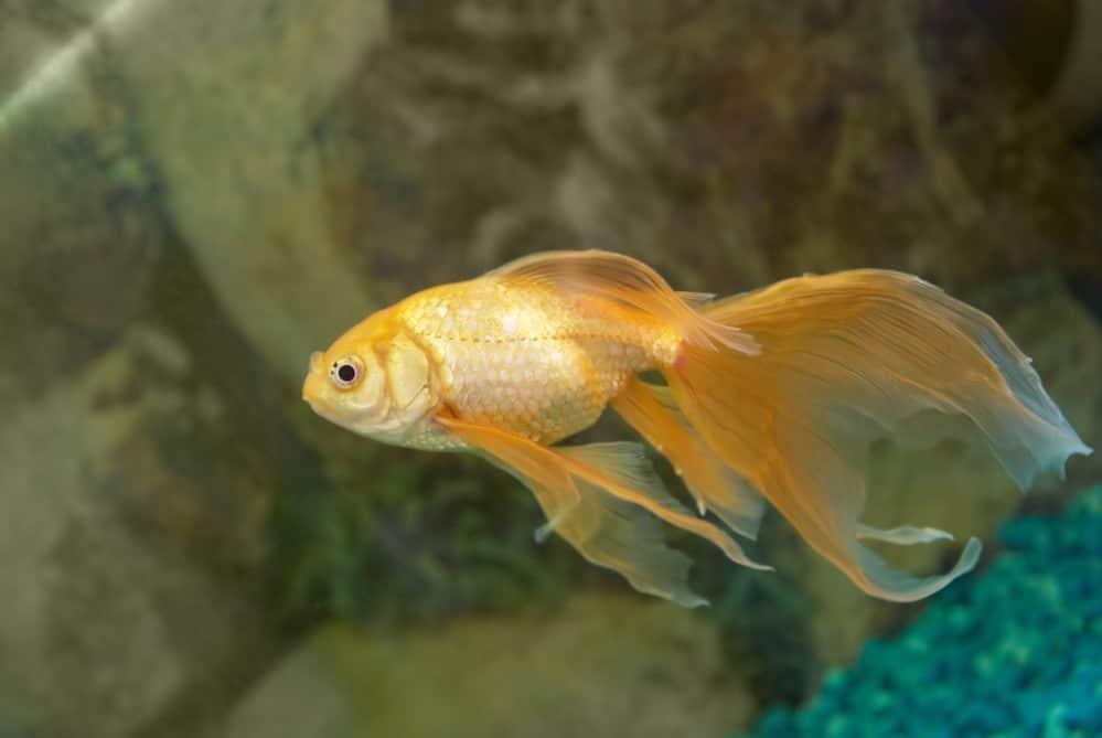 Goldfish Is Turning White