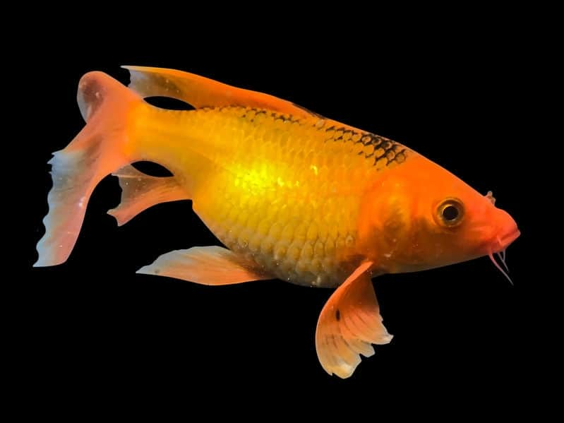 Goldfish Turning Black