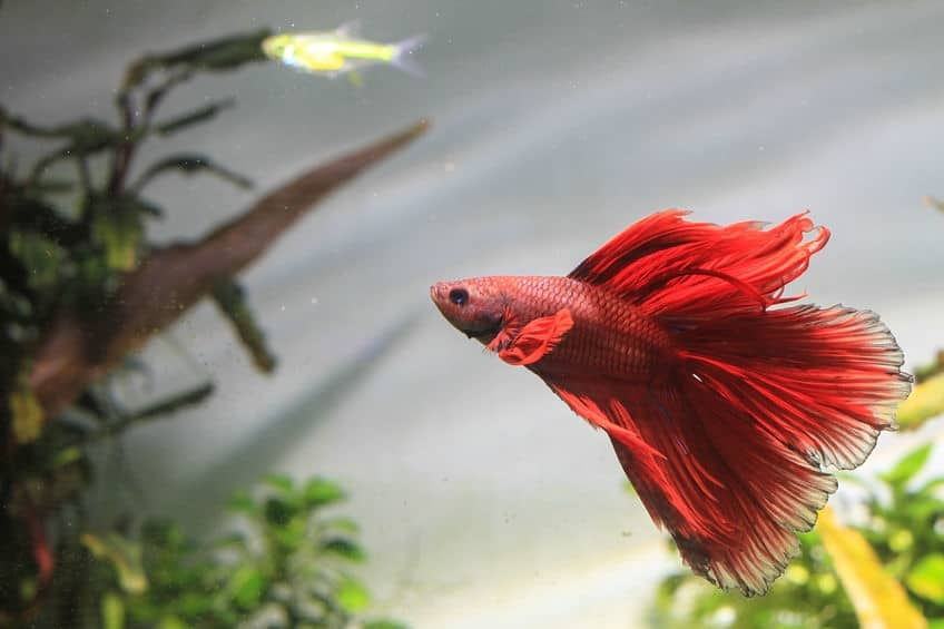 Neon Tetra With Betta