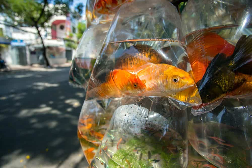 fish in the plastic bag
