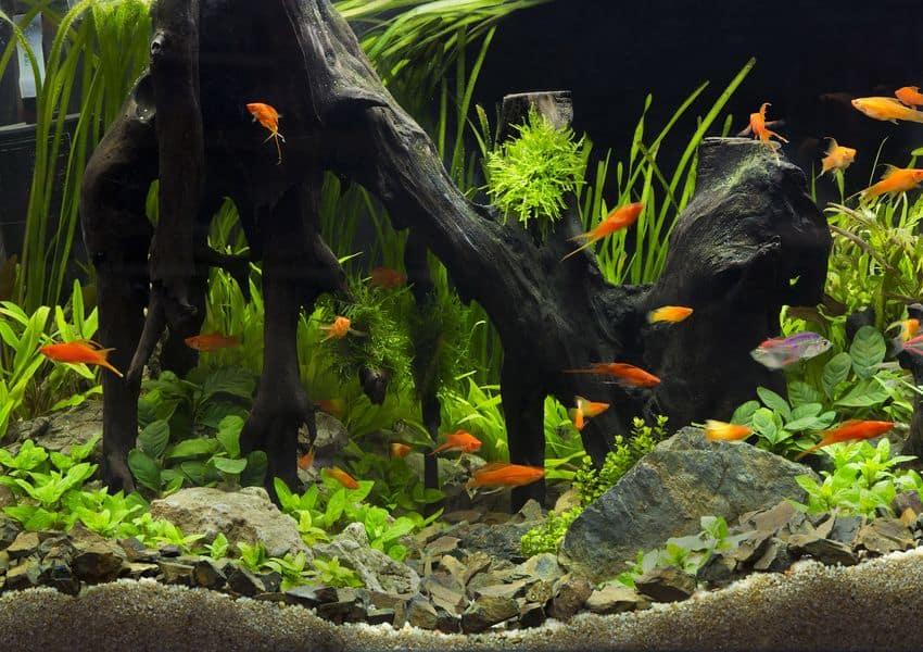 Algae Eaters For Freshwater Aquarium
