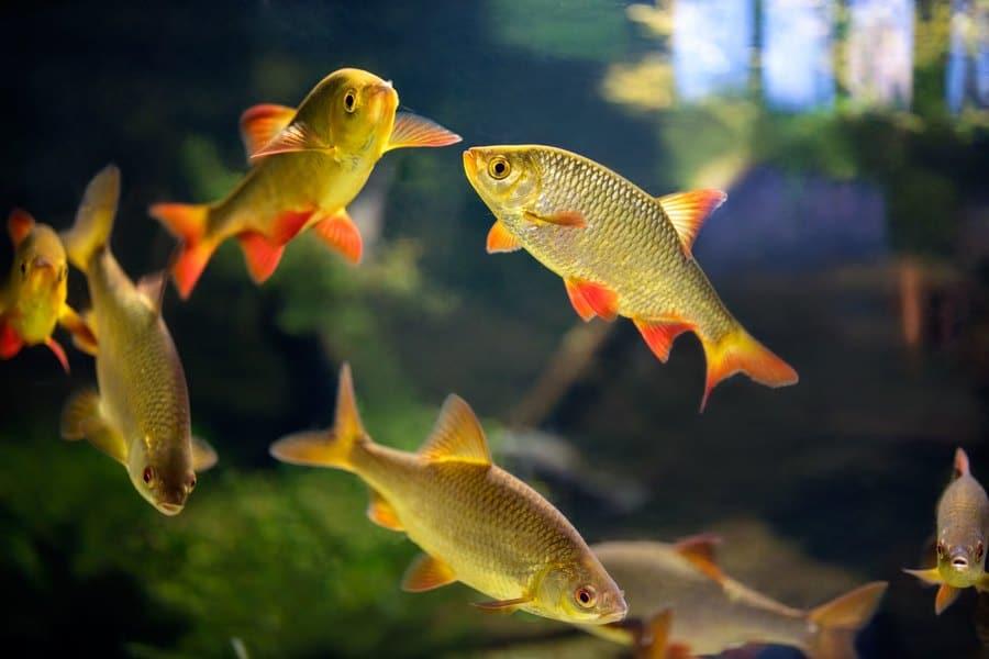 Bloodfin Tetra Fish