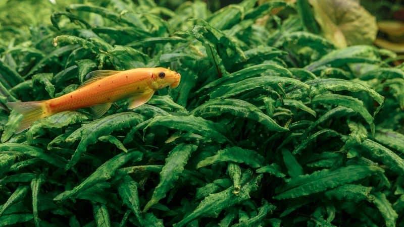 Chinese Algae Eater