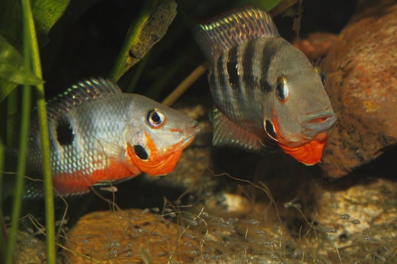 Firemouth cichlids