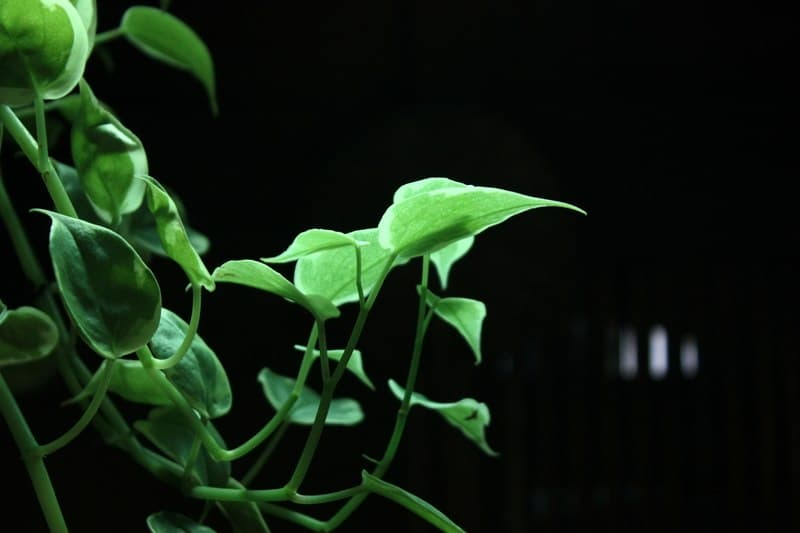 Pothos In Aquarium