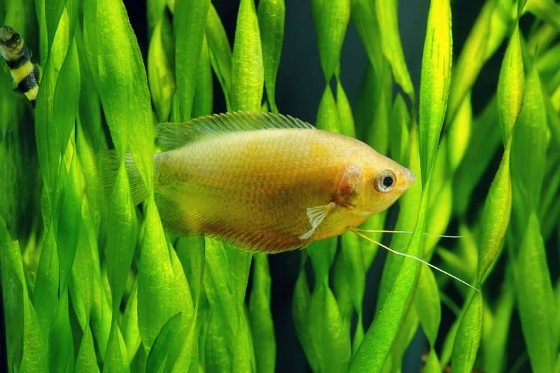 Sunset Gourami