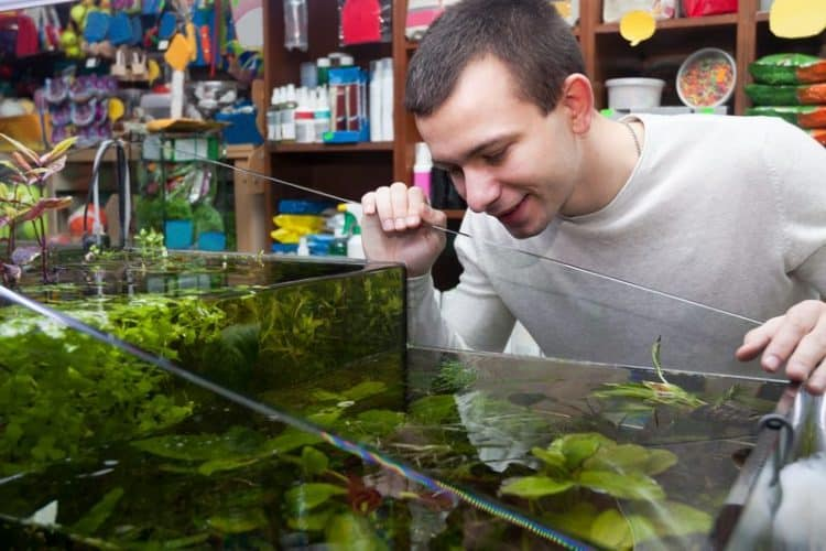 Lobelia Cardinalis Aquarium Plant Care - Fish Tank Master