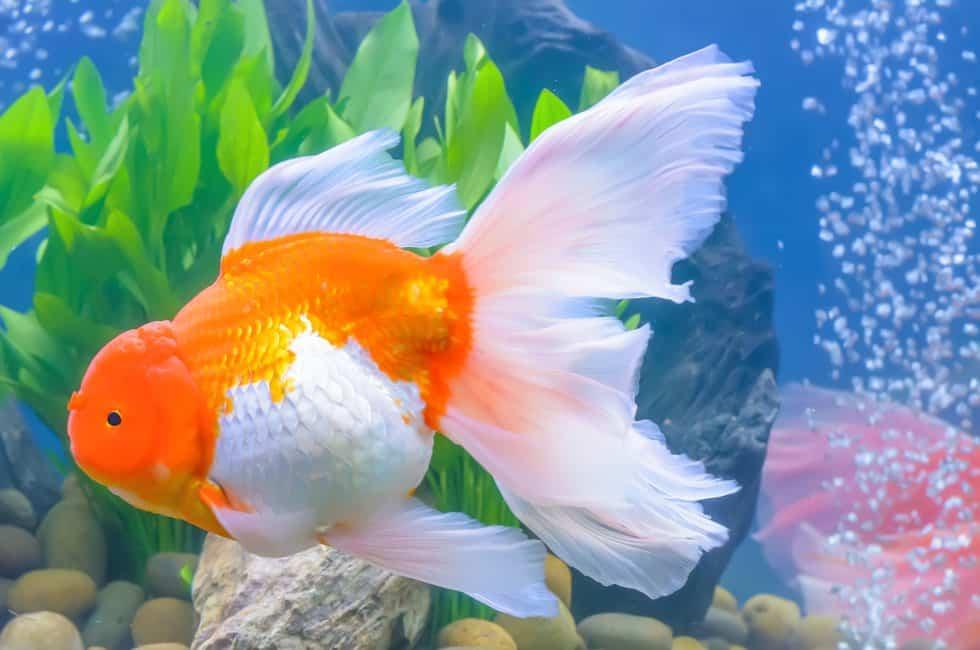 Fish oxygen