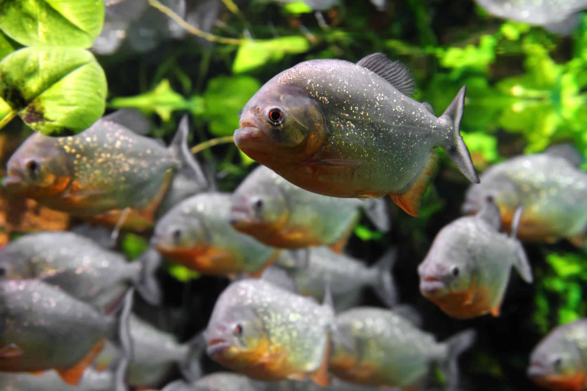 piranhas fish