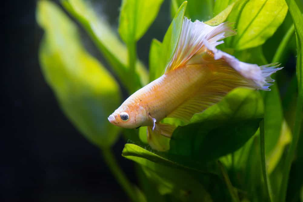 Betta Turning White All You Need To Know Fish Tank Master