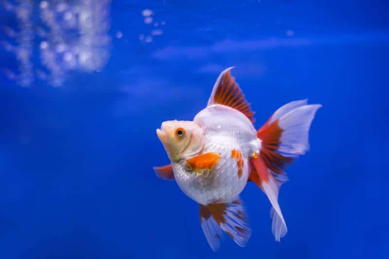 Ryukin_Goldfish