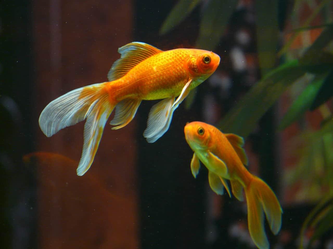 Veiltail_goldfish