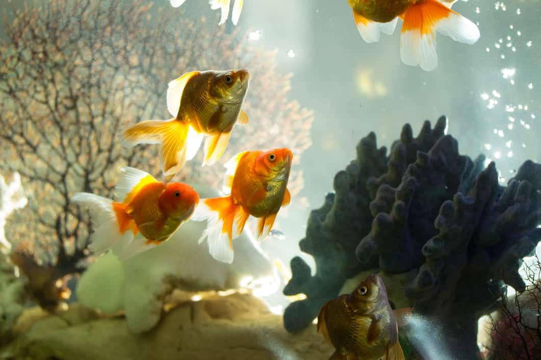 goldfish_tank
