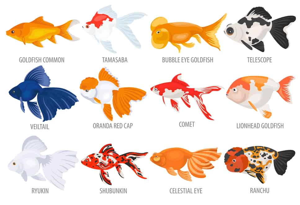 goldfish_types