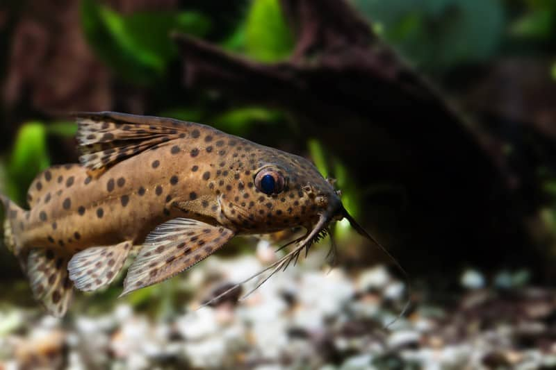 Upside-down Catfish