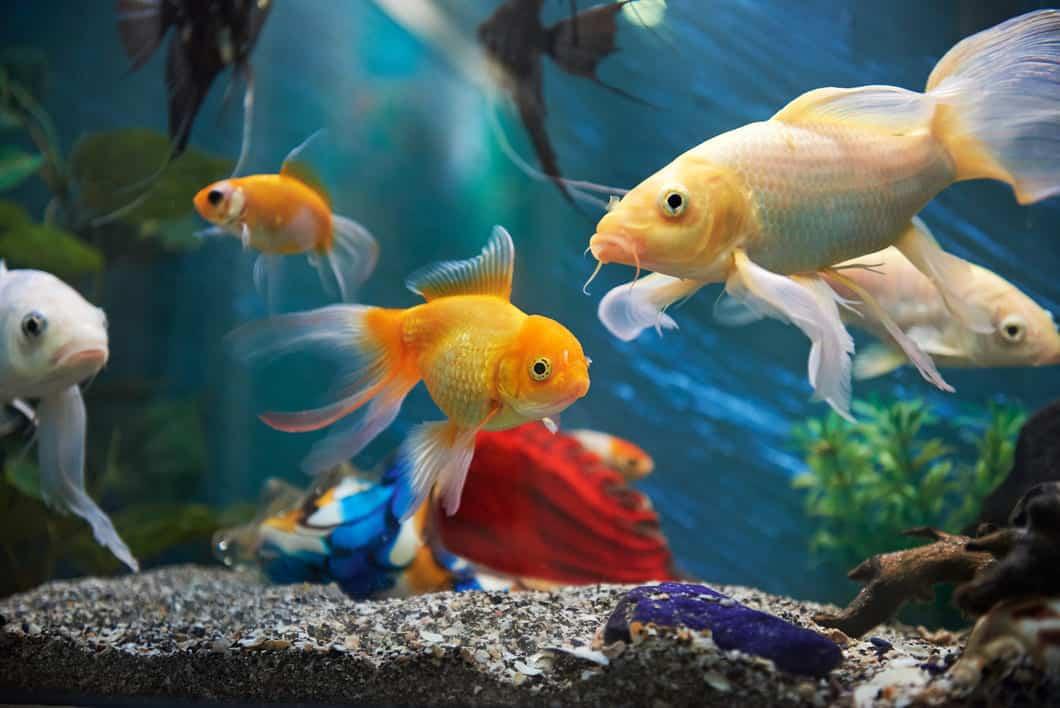 goldfish and angelfish