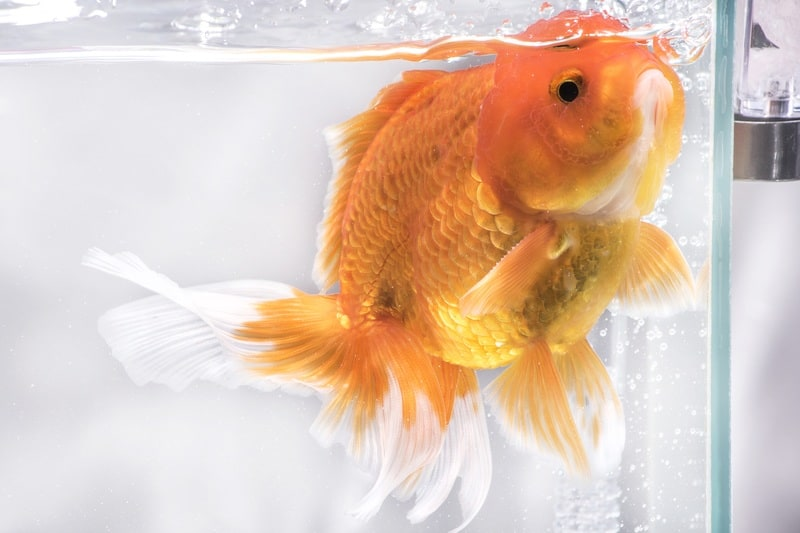 goldfish in small tank