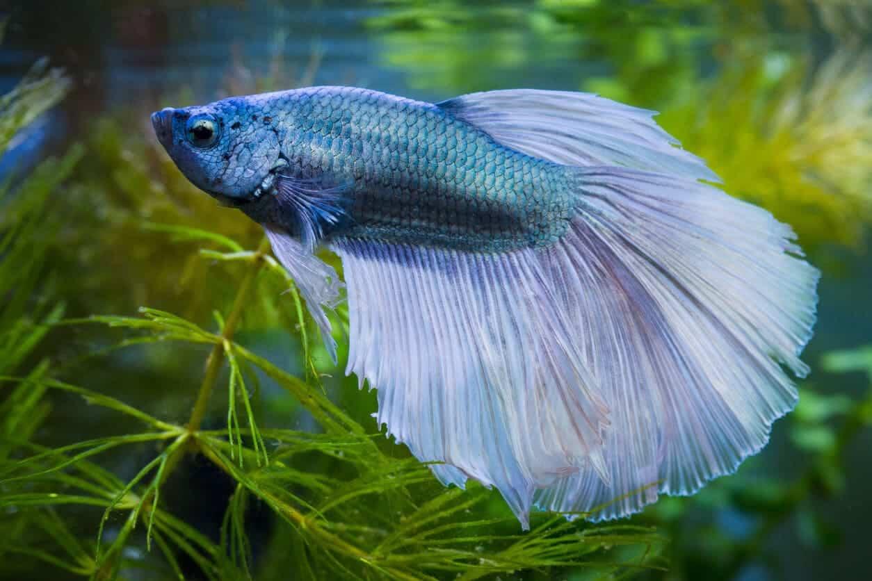 betta fish food